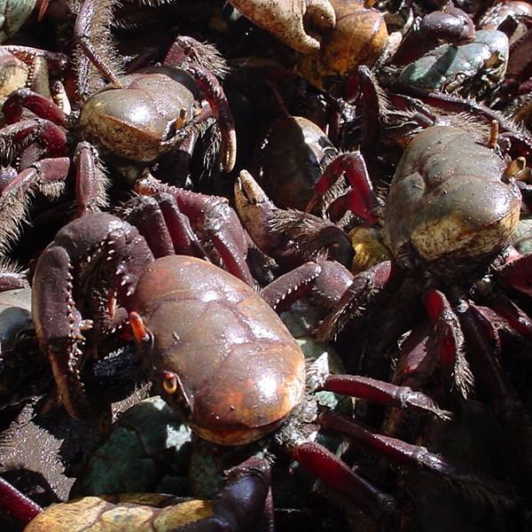 Caranguejos protegidos durante o defeso