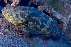 O peixe mero, ameaçado de extinção, é uma das espécies protegidas no entorno do PEIA - foto kadu Pinheiro