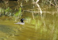 Ave considerada extinta é redescobertano Parque Estadual Serra do Mar