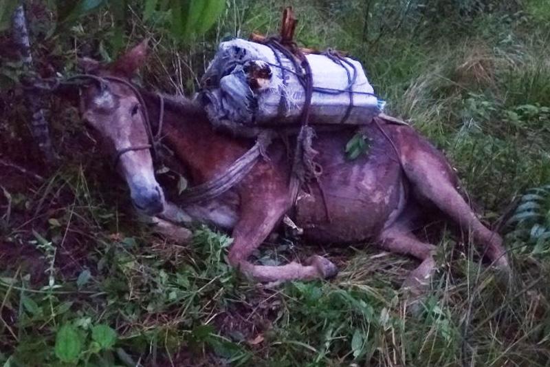 Fiscalização apreende cinco burros carregados de palmito