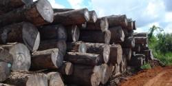 Toras de madeiras provenientes de exploração autorizada