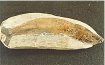 Fóssil de Peixe da Chapada do Araripe-CE