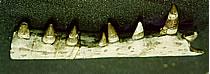 Pedaço de Mandíbula de Crocodiliano