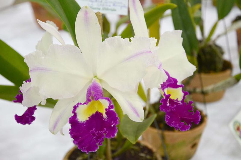 Festival de Orquídeas enfeita pavilhões no Parque da Água Branca