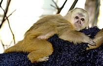 Primeiro filhote de macaco-prego-galego nascido em cativeiro
