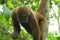Casal de macacos barrigudos será batizado no aniversário da Cidade de São Paulo