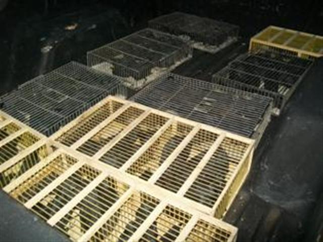 Polícia Militar Ambiental apreende 280 pássaros-pretos