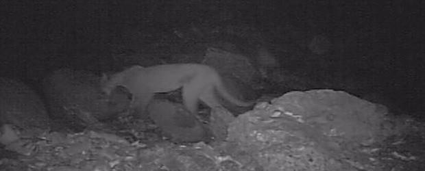 Núcleo Itutinga-Pilões do PESM registra presença de onça parda