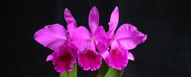 Exposição de orquídeas é destaque no fim de semana