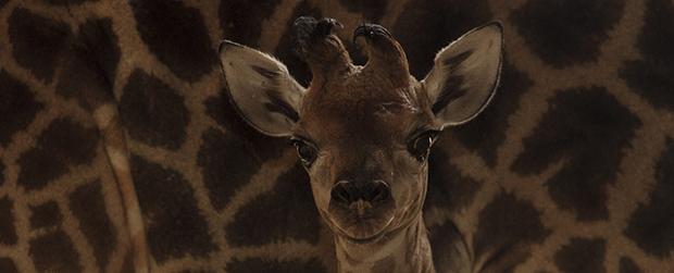 Girafinha é a nova moradora do Zoológico