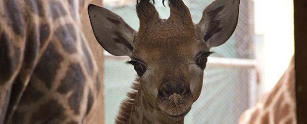 Zoo promove votação para definir nome de girafinha