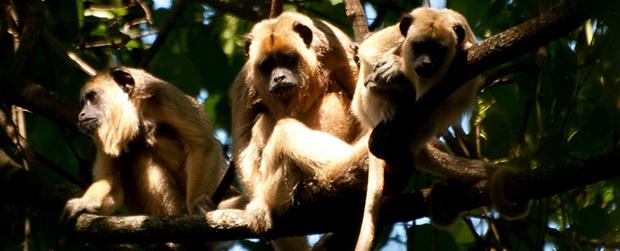 Grupo de bugios-pretos é notado na Floresta de Bebedouro