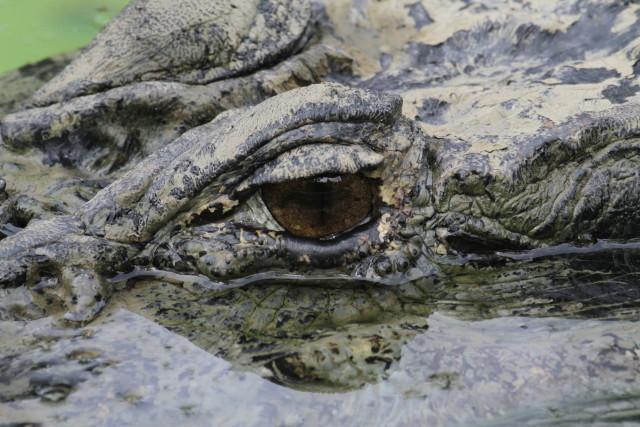 Jacaré-açu é o mais novo morador do Zoo de São Paulo