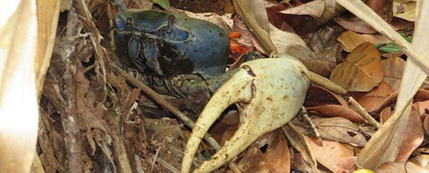 Defeso dos caranguejos uçá e guaiamum tem início no dia 1°