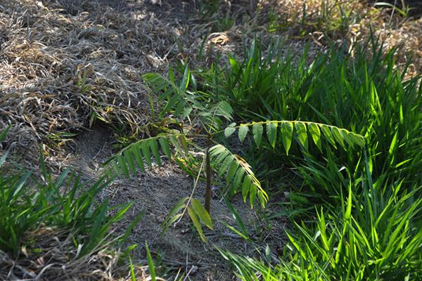 Tamoios recebe mudas nativas como compensação ambiental