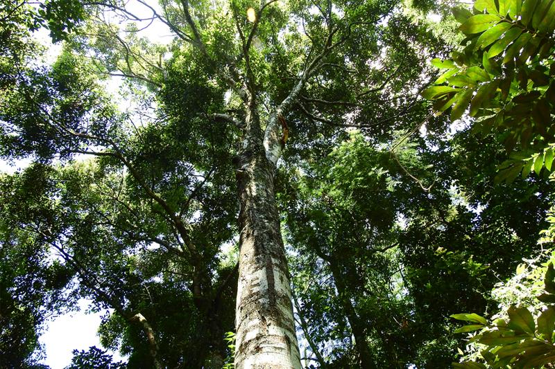 Descoberta uma nova espécie de árvore na Mata Atlântica