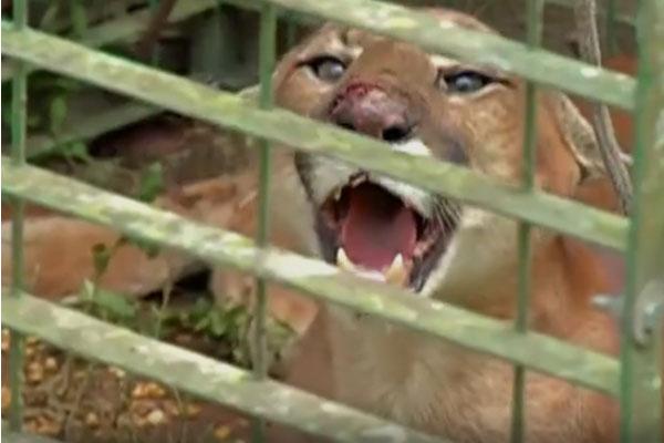 Veterinário oferece palestra sobre onças e lobos em Mogi