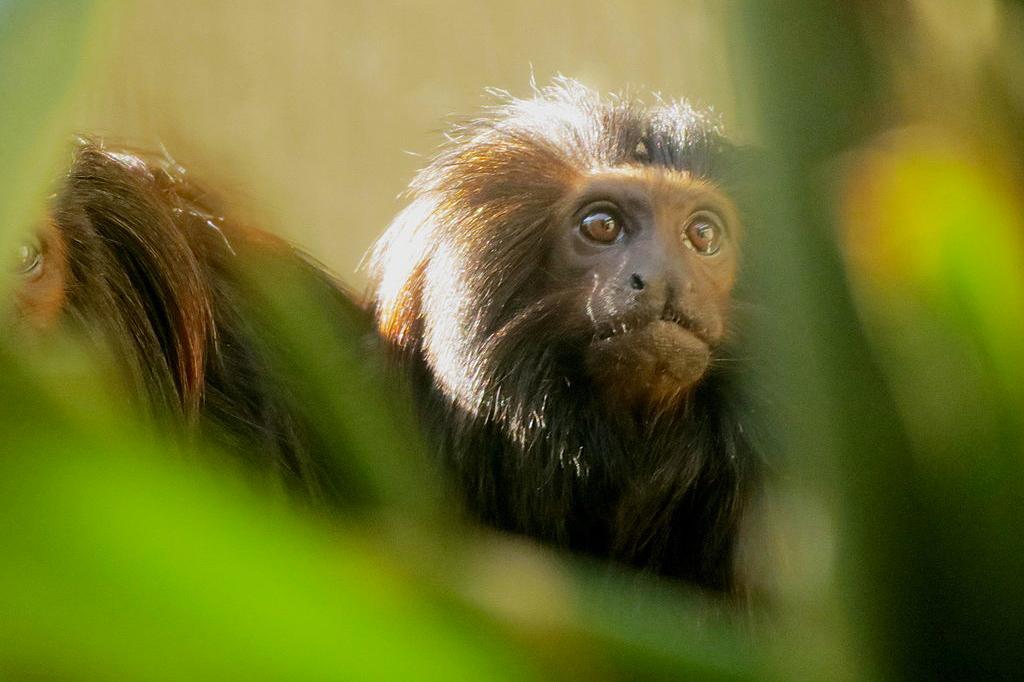 """Mico-leão-preto: de """"extinto"""" a símbolo da luta pela conservação"""