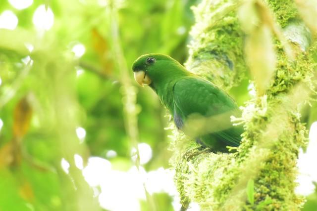 Sabiá-cica, ave difícil de avistar, é fotografada no Intervales