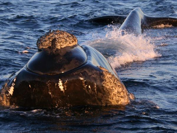 """Baleias são """"flagradas"""" na Ilha Anchieta"""