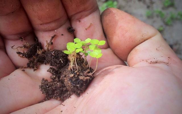 Botânico clona árvore mais antiga de SP e planta no Pq. Villa-Lobos