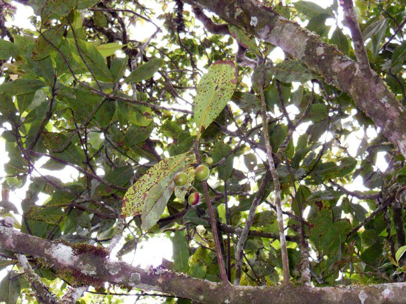 Encontrada nova espécie de árvore na Serra da Mantiqueira