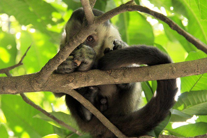 Febre amarela: o macaco não é o vilão