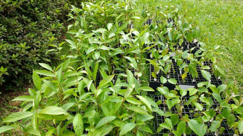 Horto de Tupi alia conservação e produção florestal à pesquisa